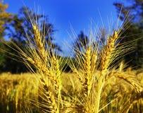 Ripe wheat ears Royalty Free Stock Photography