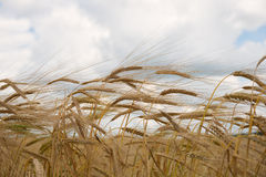 Ripe wheat ears Royalty Free Stock Photos