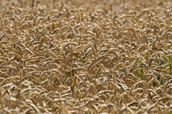 Ripe wheat ears agriculture background Stock Images