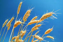 Ripe wheat ears and blue sky Stock Images