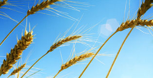 Ripe wheat ears and blue sky Royalty Free Stock Photos