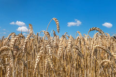 Ripe wheat ears in close-up Royalty Free Stock Images