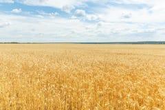 Ripe wheat ears on a farm  field Royalty Free Stock Photography
