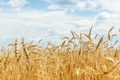 Ripe wheat ears on a farm  field Stock Image