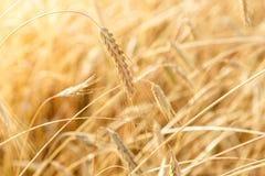 Ripe wheat ears on a farm  field Stock Images