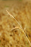 Ripe wheat ears on the field Royalty Free Stock Photos