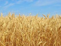 Ripe wheat ears on a field. Royalty Free Stock Photography