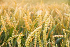 Ripe wheat ears on field as background Royalty Free Stock Photography