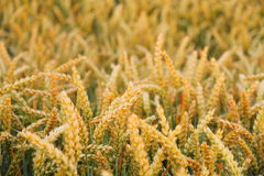 Ripe wheat ears on field as background Royalty Free Stock Photo