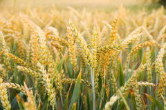 Ripe wheat ears on field as background Stock Photo