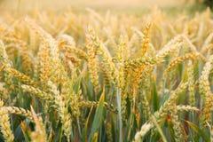 Ripe wheat ears on field as background Stock Photo
