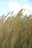 Ripe wheat ears on field background Stock Photography