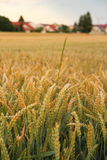 Ripe wheat ears on field background Stock Photo