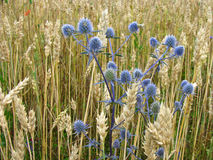The ripe wheat ears on field closeup Royalty Free Stock Images