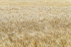 Ripe wheat ears on a field. Agricultural background with limited depth of field Royalty Free Stock Images