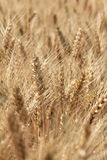Ripe wheat ears Royalty Free Stock Images
