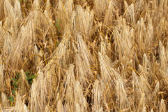 Ripe wheat ears foreground Royalty Free Stock Images