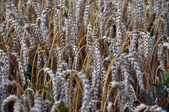 Ripe wheat ears_8 stock photography