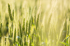 Ripe wheat ears Royalty Free Stock Image