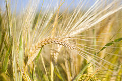Ripe wheat ears in the summer sunshine Stock Photo