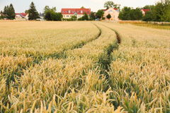Ripe wheat ears with tractor tracks on field background Stock Photos