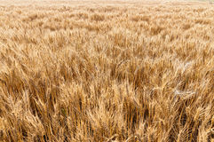 Ripe wheat. Eastphoto, tukuchina, Ripe wheat, Still life Stock Photography