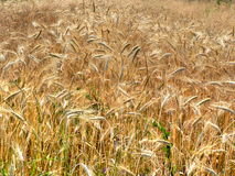 Ripe wheat field. Scenic view of ripe golden wheat field in countryside Royalty Free Stock Photography