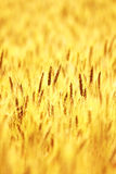 Ripe wheat field. In summer Royalty Free Stock Photography