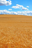 Ripe Wheat Field Stock Photo