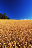 Ripe Wheat Field Stock Photos