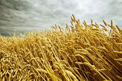 Ripe wheat in the field Royalty Free Stock Photos