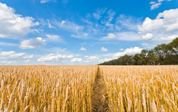 Ripe wheat field Royalty Free Stock Photos