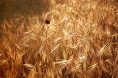 Ripe wheat field Stock Photos
