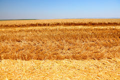 Ripe wheat field. Golan heights, Israel Royalty Free Stock Image