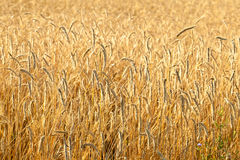 Ripe wheat in a field Stock Photography