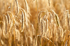Ripe wheat in a field Royalty Free Stock Images