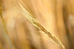 Ripe wheat in a field Royalty Free Stock Photo