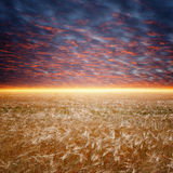Ripe wheat field Stock Images