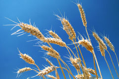 Ripe wheat field Stock Image