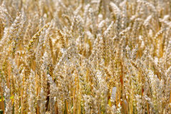 Ripe wheat on the field Stock Photography