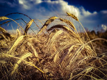 Ripe wheat on field Royalty Free Stock Photography