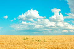Ripe wheat. On the field Royalty Free Stock Image