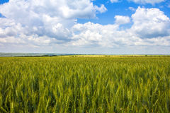 Ripe wheat. On the field Stock Images
