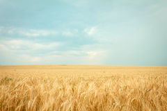 Ripe wheat. On the field Royalty Free Stock Photos