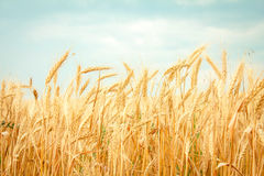 Ripe wheat. On the field Royalty Free Stock Photography
