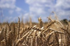 Ripe wheat field against a blue sky, Sunny summer day. Spikes. Of rye. Nature Royalty Free Stock Photo