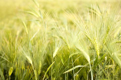 Ripe wheat field. Agriculture-harvest-cereal Stock Photography
