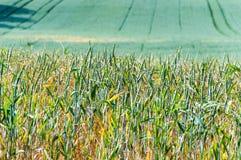The ripe of wheat. Stock Photo