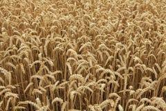 Ripe wheat field. Background texture Stock Photo