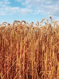 Ripe wheat field royalty free stock photography